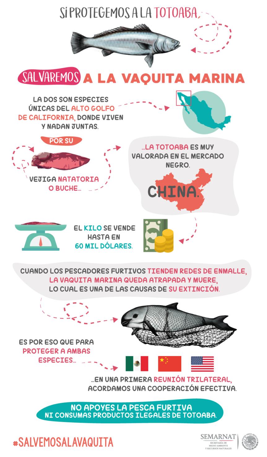 totoaba_infografia