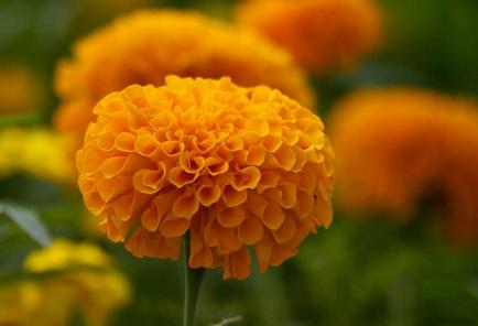 Flor de Cempasuchitl